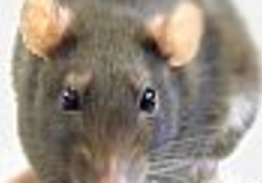 Rats on Cremieux Street