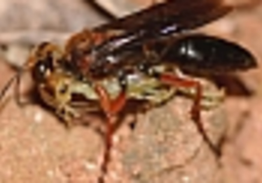 Predator wasps flying to the aid of nation's eucalyptus trees