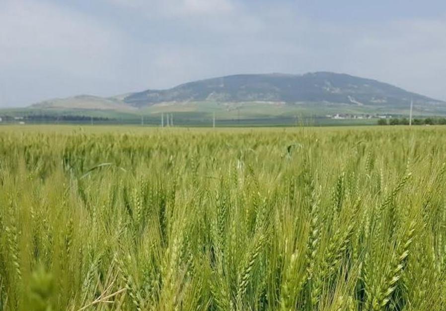 Wheat in a field / Courtesy