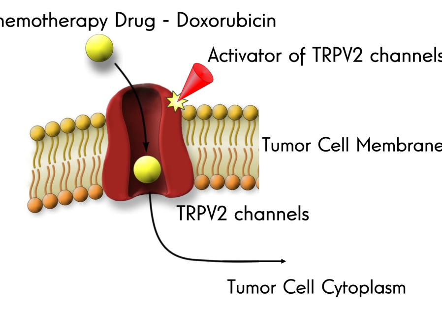 TRPV2 protein in action (Credit: Dr. David Roberson)