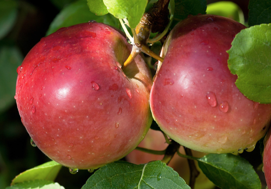ADDRESSING FOOD quality: 'The average apple we eat was picked nine months before we buy it.'