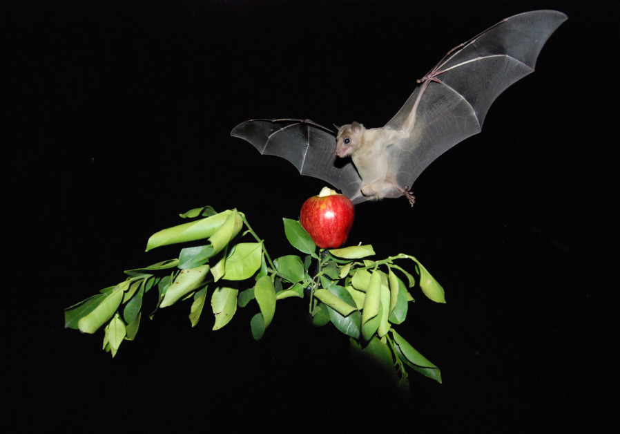 TAU finds that bats navigate in the same manner as humans, using landmarks. (Tel Aviv University)