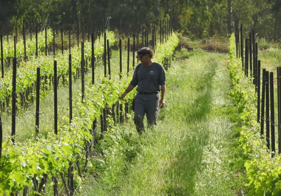 THE WINE grower caring for his vineyard. (Golan Heights Winery)