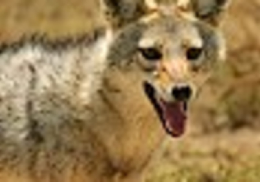 The cry of the golden jackal