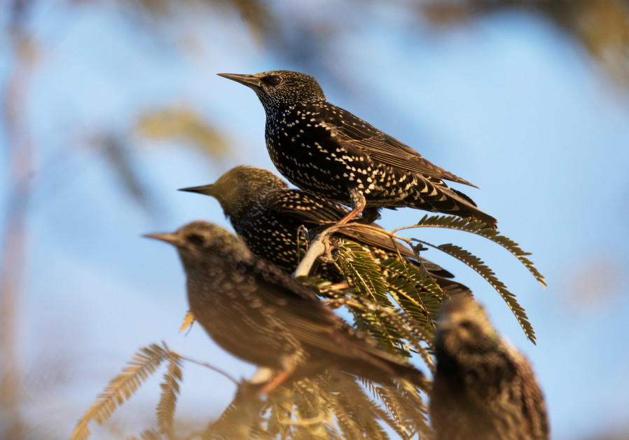 Starlings perch on a branch near Beersheba. (Amir Cohen/Reuters)
