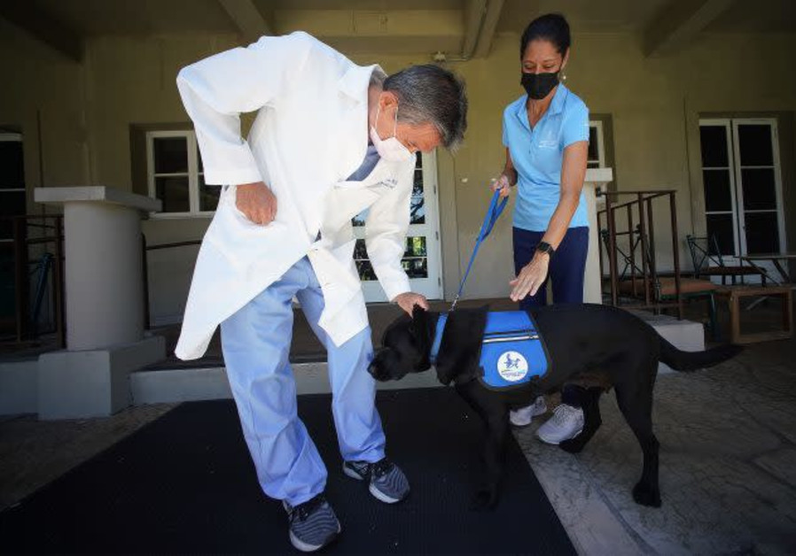 Black Labrador Tess volunteers at Queen's Medical Center in Hawaii. (Courtesy)