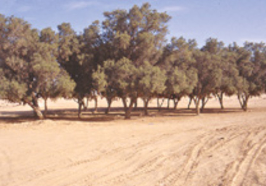 tamarisk trees 248.88