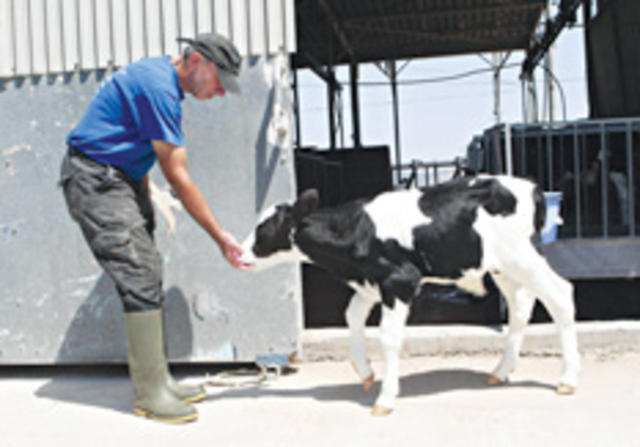 kibbutz feeding cow 248.88