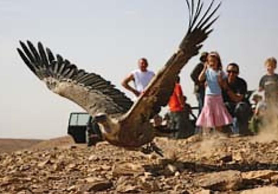 griffon vulture 248.88