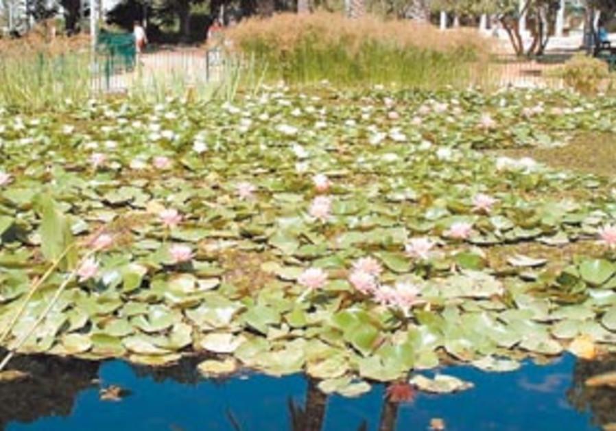 lily pond 88 298