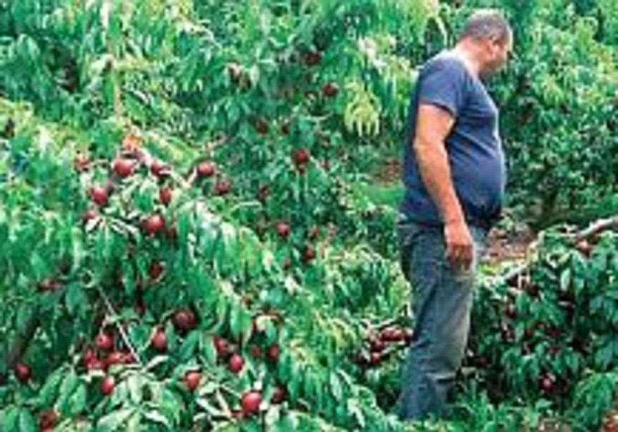 Rotting fruit in North costs growers, consumers