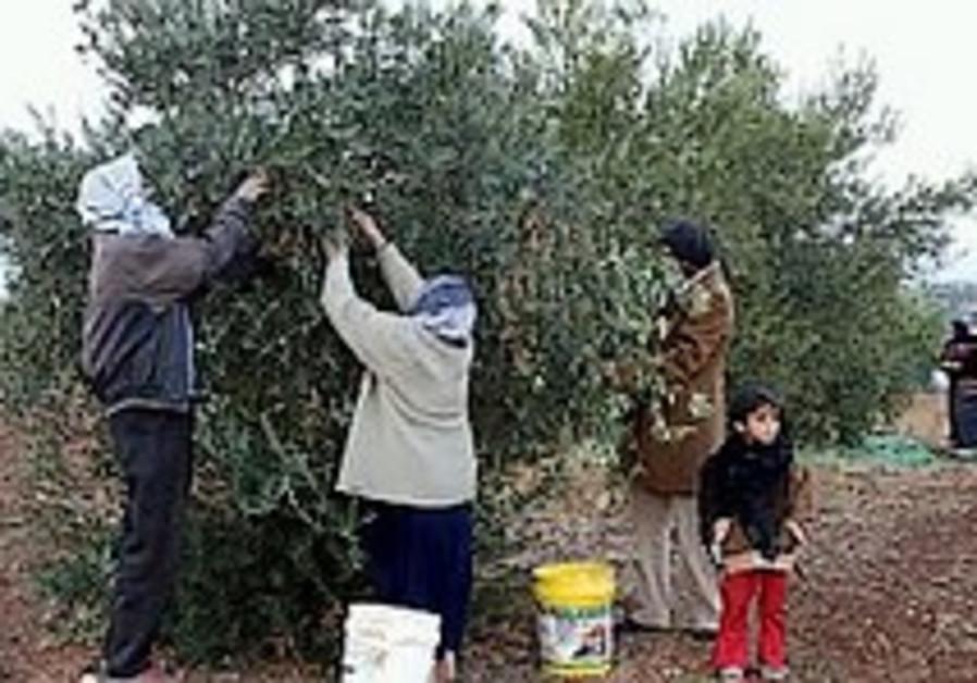 olive harvesters 298 88 aj