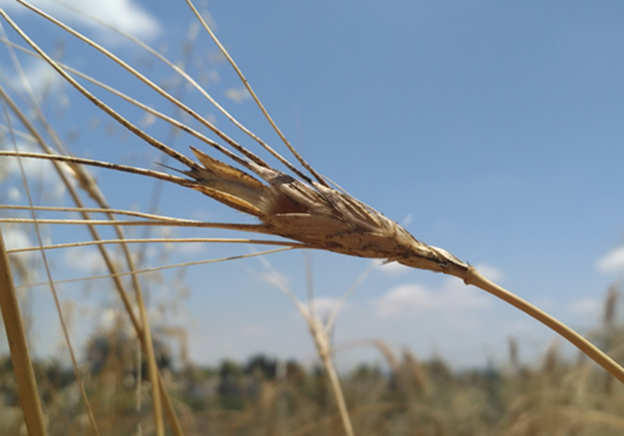 Israeli scientists help international team sequence wild wheat genome