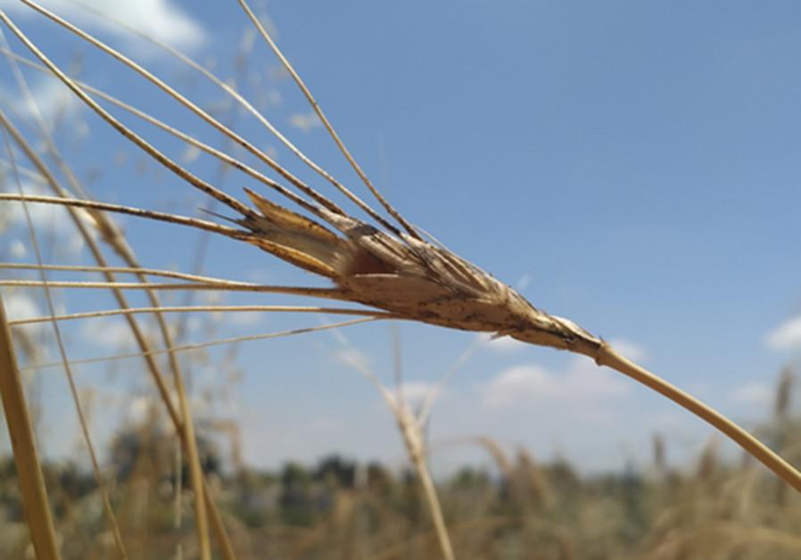 Israeli scientists help international team sequence wild wheat genome