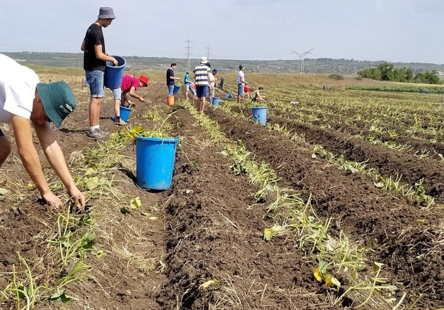 Volunteers work the fields in Binyamina