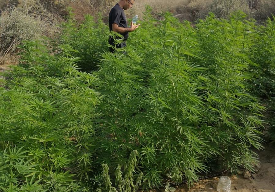 Israeli policeman in a field of weed