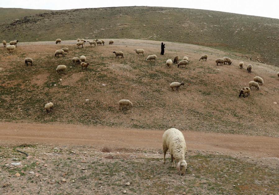 A PALESTINIAN Beduin woman herds livestock near al-Khan al-Ahmar in the West Bank last March