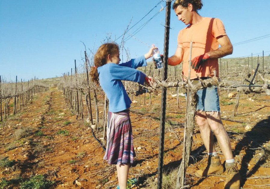 Tzvika Struk pruning his vines with his daughter, Kinneret