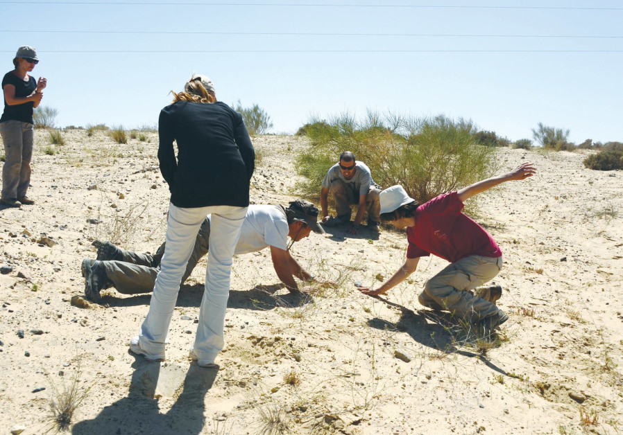 A GROUP of amphibian and reptile researchers capture lizards in the Negev.