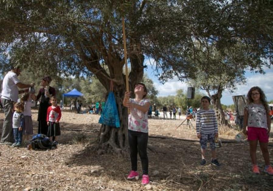 Visitors pick olives at KKL-JNF forests