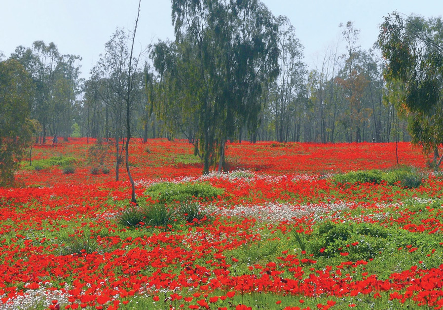 No rain, no flowers: A red carpet of anemones in the Negev's Shokeda Forest.