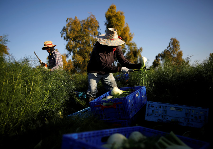 Thai workers collect freshly harvested fennel near Kibbutz Alumim in southern Israe