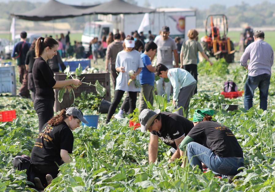 Leket Volunteers Picking Produce for the Needy