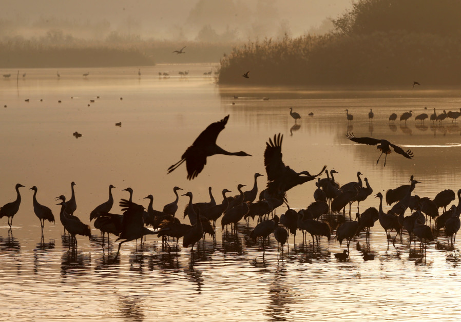 Migrating cranes rest on the Hula Lake Ornithology and Nature Park in northern Israel