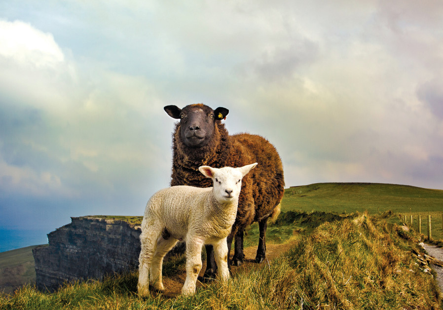 SHEEP FIND ample grazing near the steep Cliffs of Moher at the southwestern edge of the Burren regio