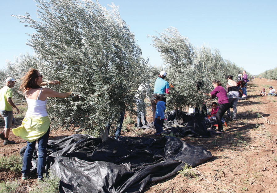 THE OLIVE harvest by volunteers at 'the Scottish Grove' in the Jezreel Valley