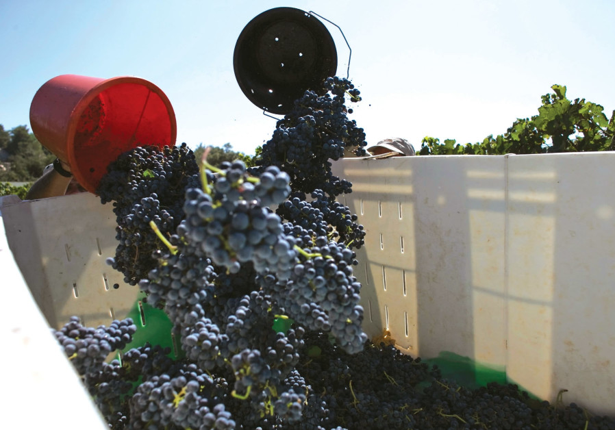 ISRAELIS HARVEST grapes for wine, some of which will be exported. The author notes that market force