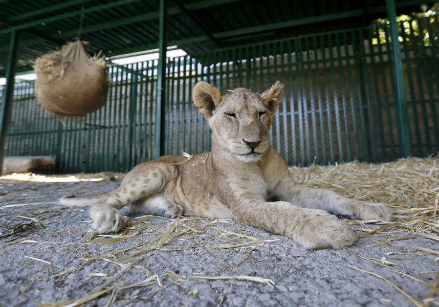 A lion cubs from a zoo in Gaza in its new home in Amman, July 2015
