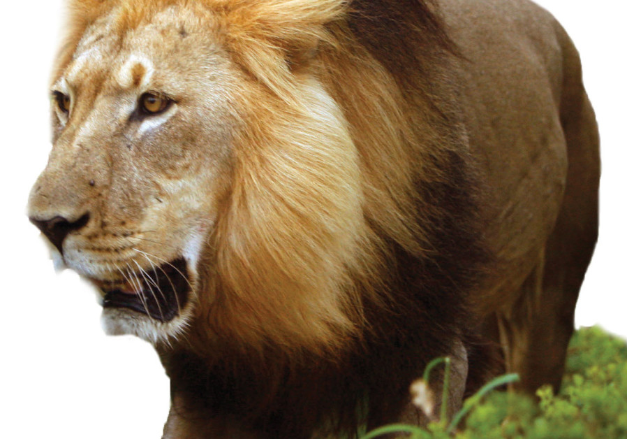 A MALE African lion stalks his prey through the bush in South Africa's Addo Elephant National Park