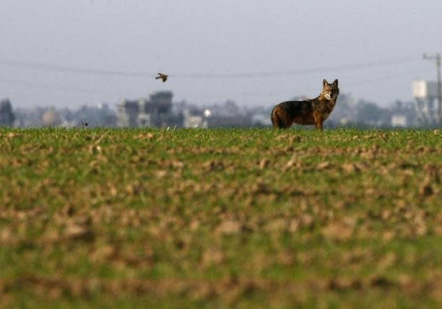 A jackal stands in a field near Kibbutz Ein Hashlosha, just outside the southern Gaza Strip.