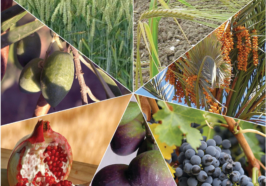 The Seven Species, whose fruits are traditionally eaten on Tu Bishvat