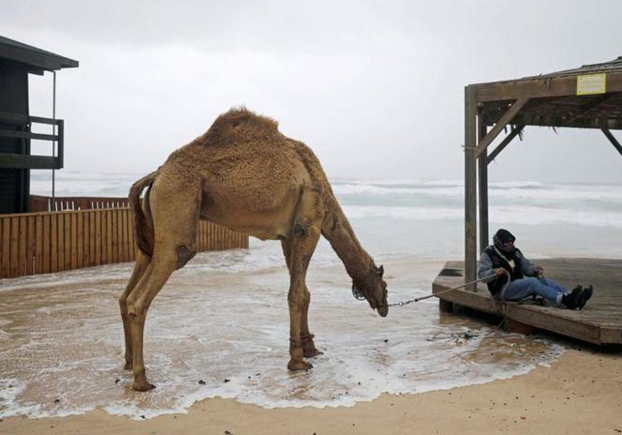 Knesset putting off action on bill to prevent camel crashes