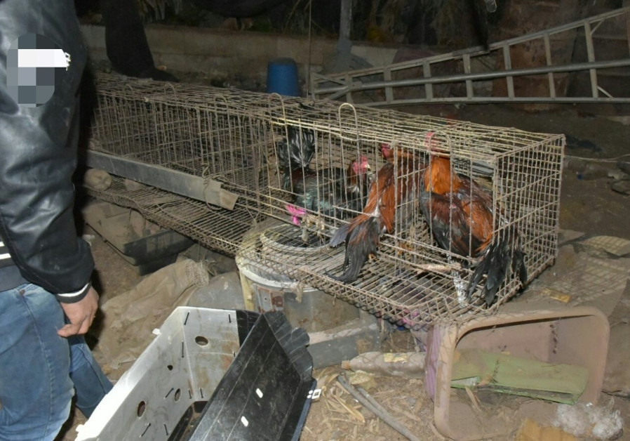 Israeli police put end to illegal Thai cockfight