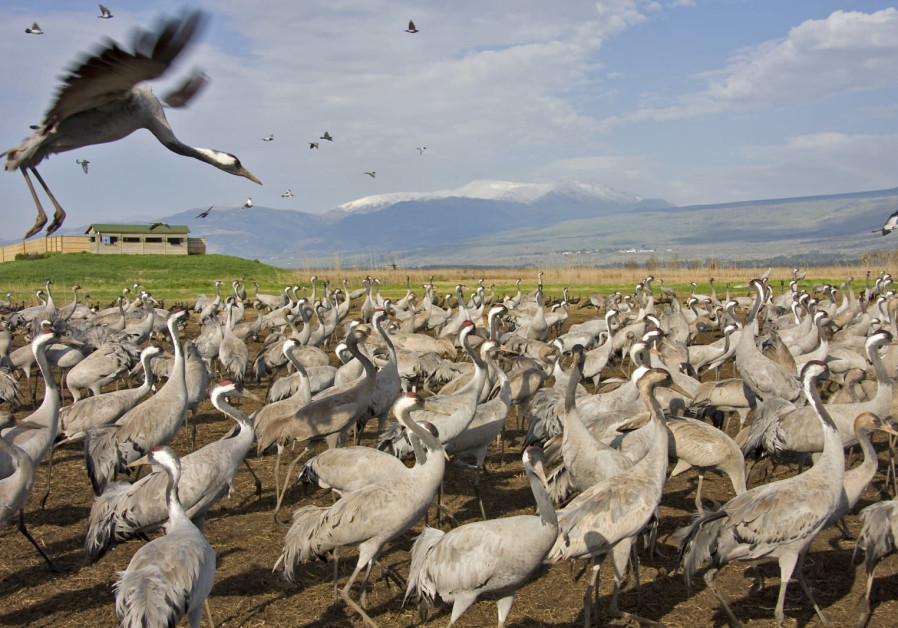 Migrating cranes staying in Hula Lake Park