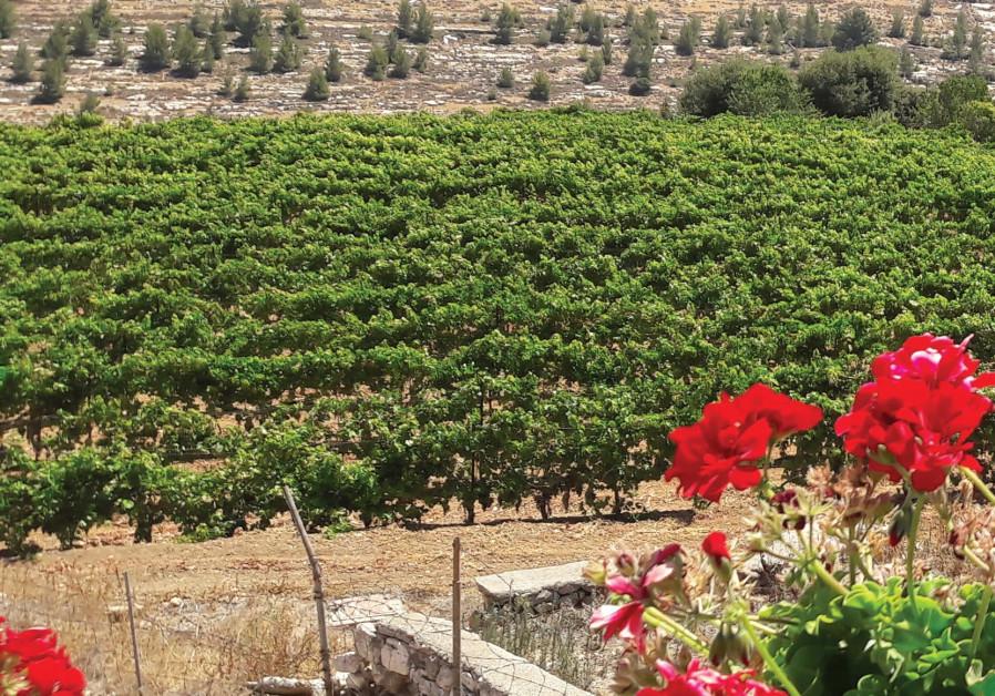 The Cremisan Winery vineyard where the Hamdani, Jandali and Dabouki varieties are grown.