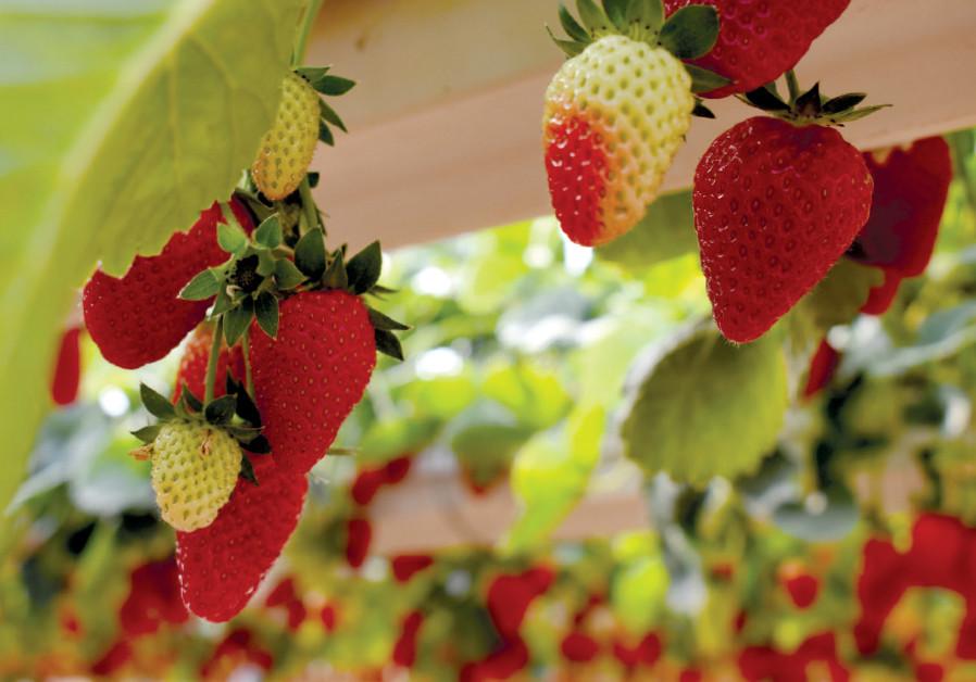 Strawberry picking at Darom Adom
