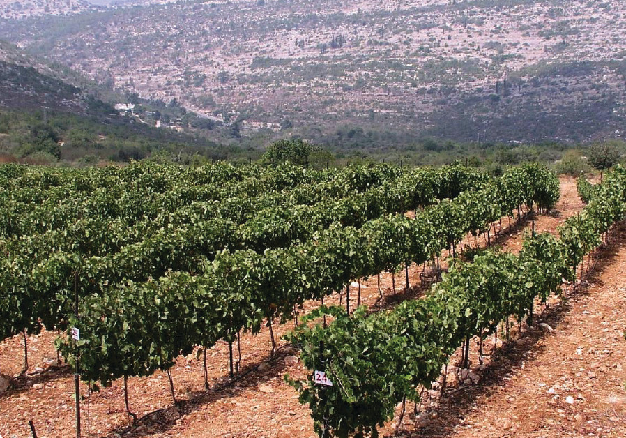 THE TZORA vineyards in the Judean Hills grow one of Israel's best Sauvignon Blancs