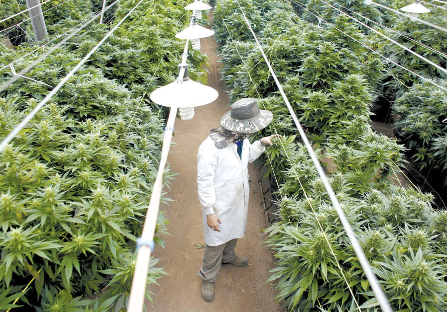 Ready to grow: Israeli companies eager to join global cannabis boom
