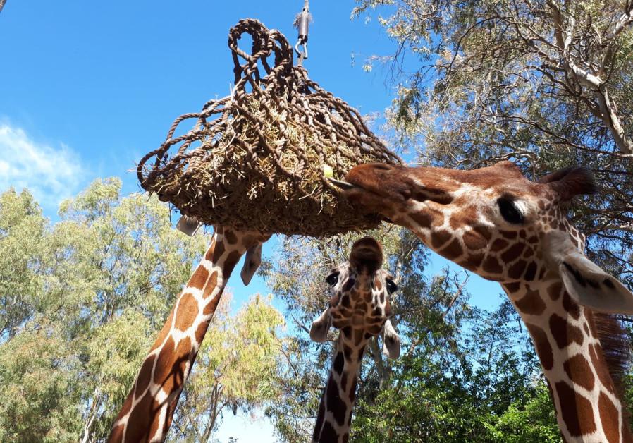 Israeli giraffes receive giant hamantash for Purim