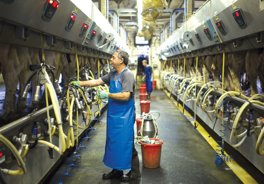 A dairy farm in Israel uses innovative milking technologies to boost productivity.