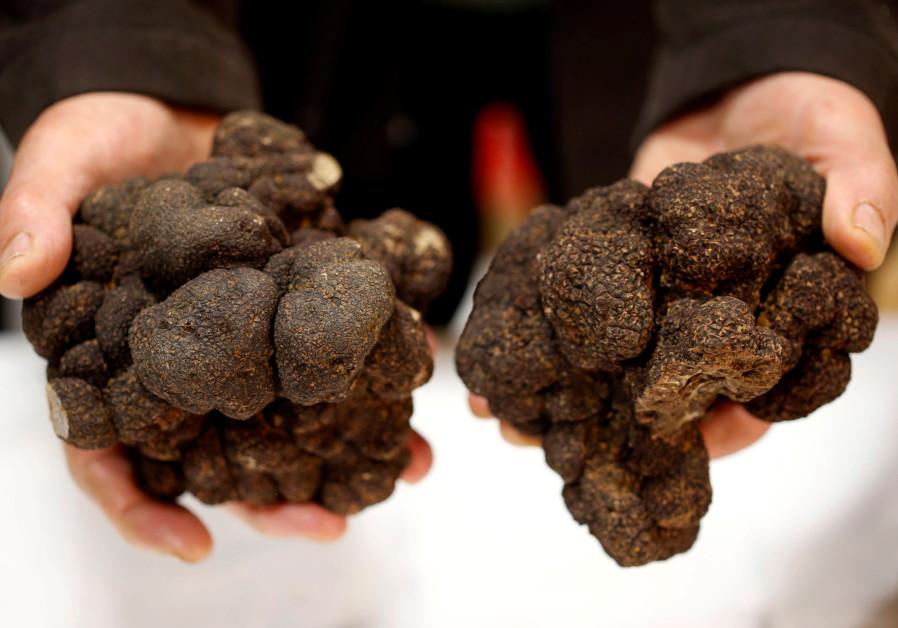Truffle farmer holds a Black truffles (Truffes du Perigord) at a truffle market in France