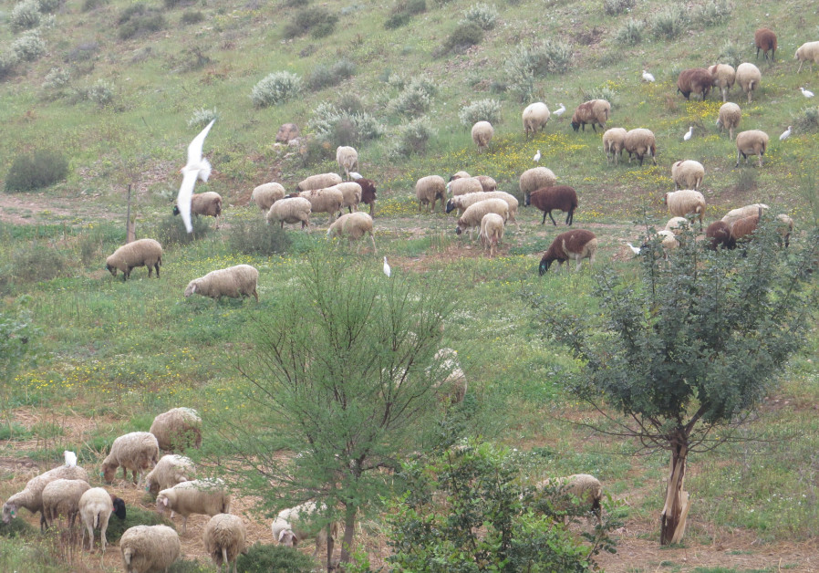 A local Bedouin flock grazes in the Israel-China Friendship Forest in the Negev