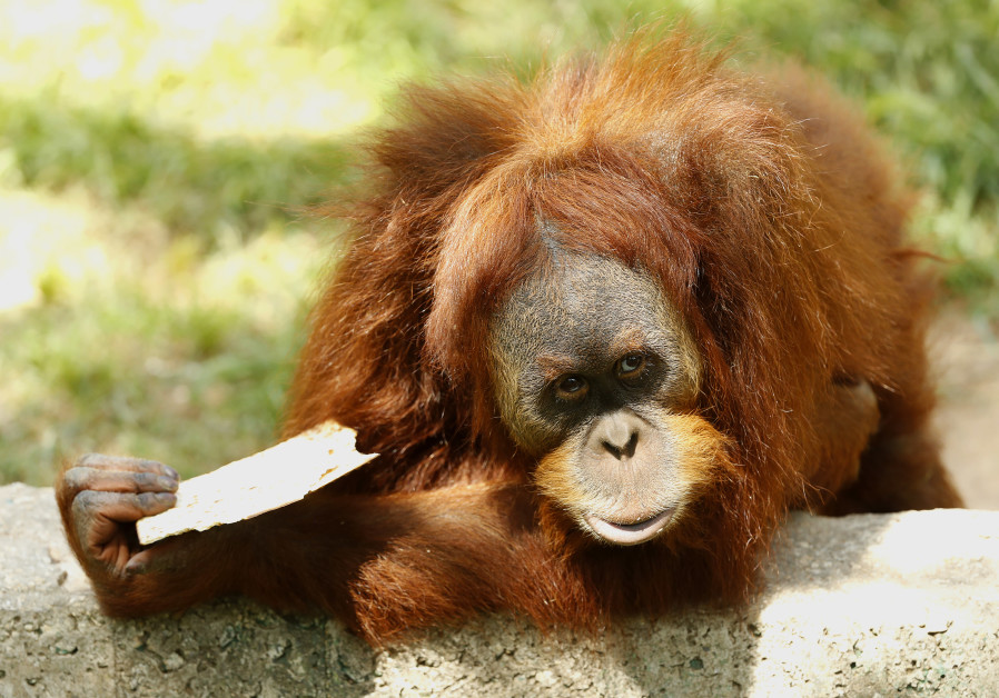 An orangutan eats the traditional Matza (unleavened bread) in preparation for the upcoming Passover