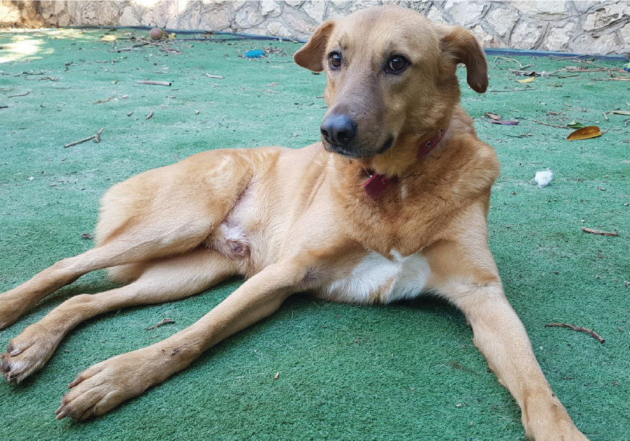 Jerusalem Loves Animals is seeking good homes for a number of dogs, including: The four-and-a- half-