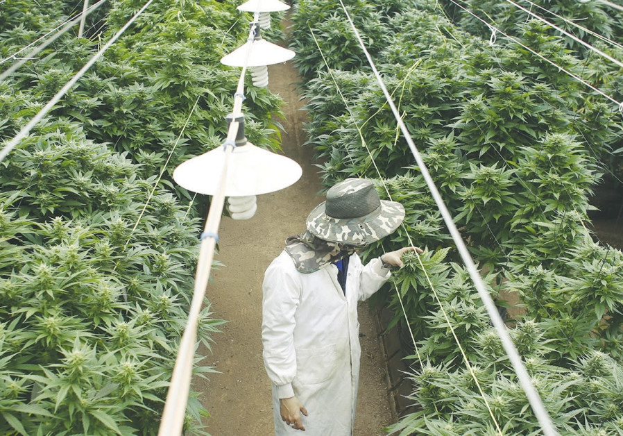 Israel set to allow exports of medical pot, but no. of growers to be cut