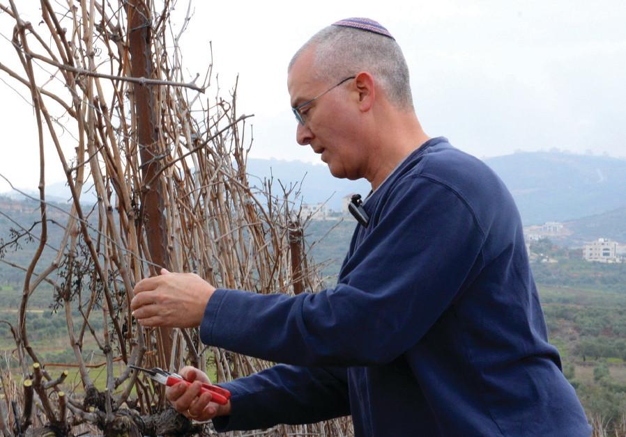 Shiloh Winery winemaker Amichai Luria prunes one of his vines